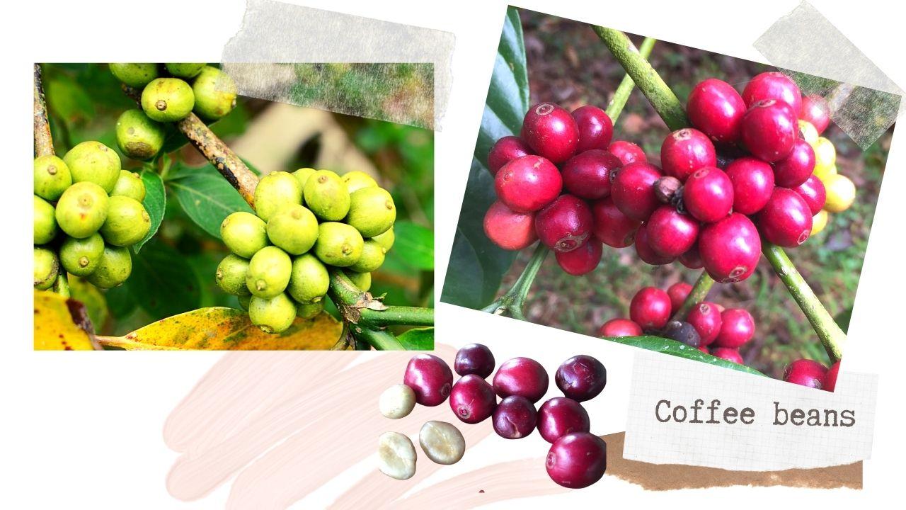 コーヒー豆の生豆